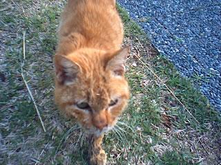 le chat marron